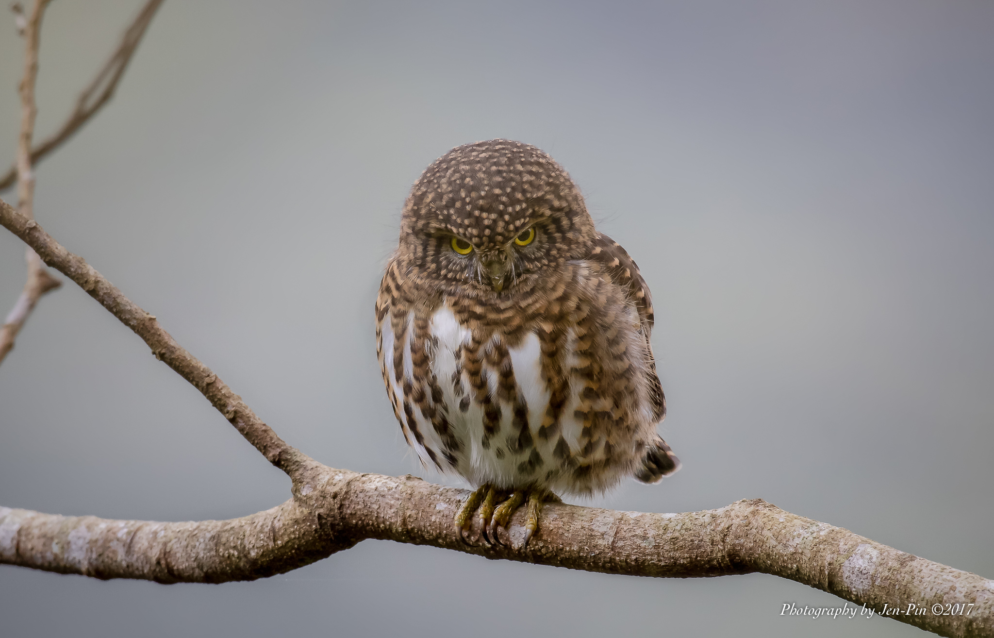 鵂鶹 Barred Owlet ©Photography Jen-Pin LIN 林仁斌