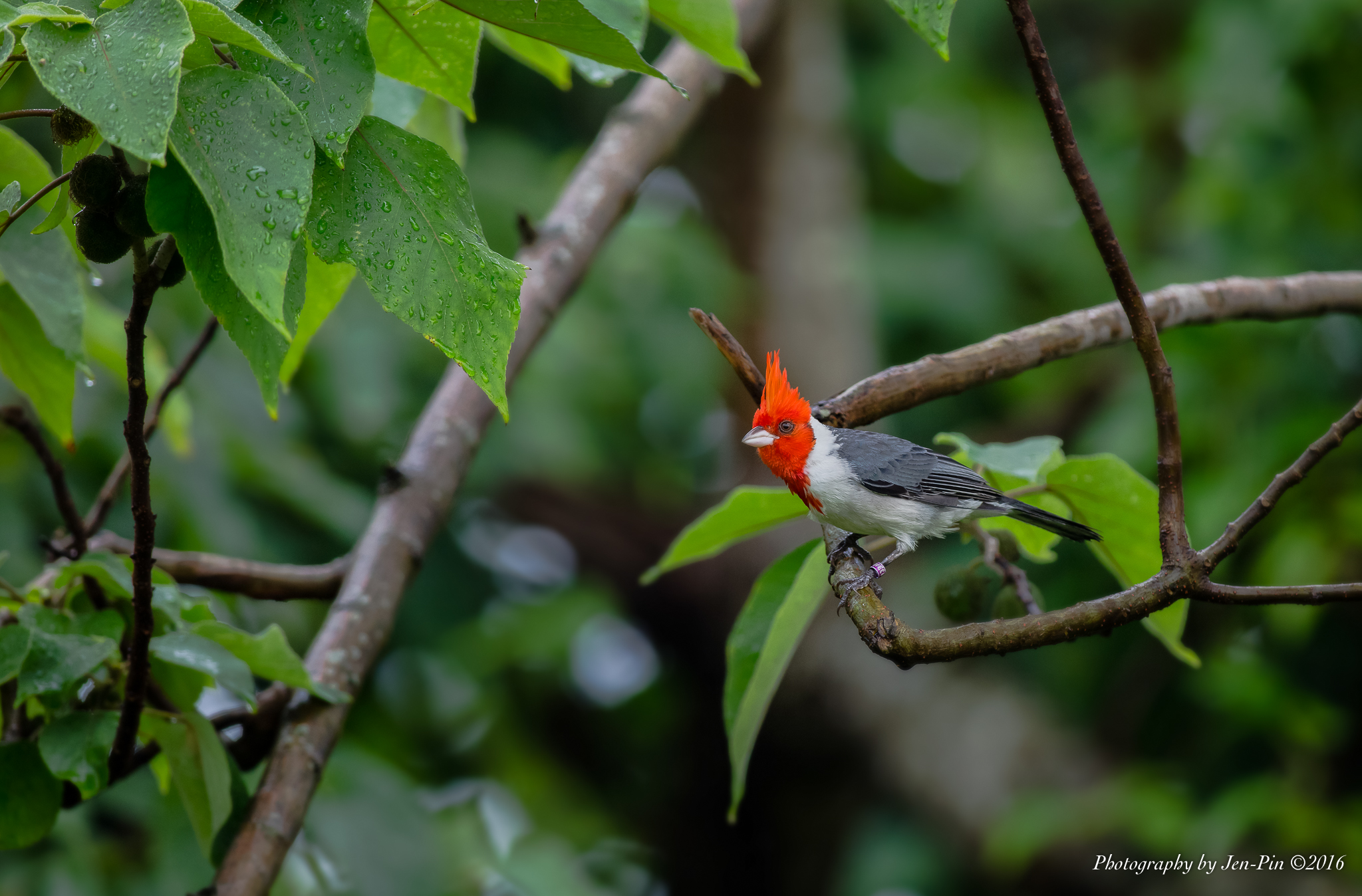 冠紅臘嘴雀(Red-crested Cardinal)©Photography Jen-Pin LIN 林仁斌